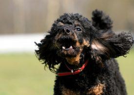 Antibellhalsband: Top 3 Modelle, warum bellt der Hund?